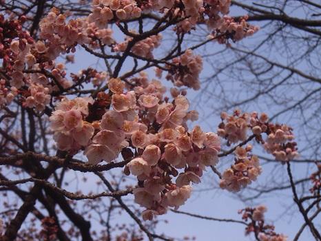 ああっ!忘れてたかも?!寒桜!/2/28=旧1/29・庚午