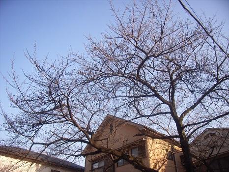私の桜標本木/旧2/20・庚寅