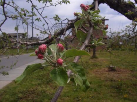 リンゴのつぼみ