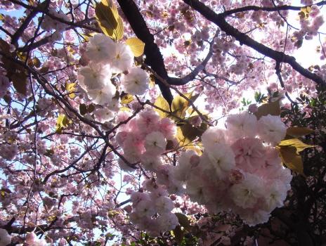 201004養福寺の八重桜 (2)