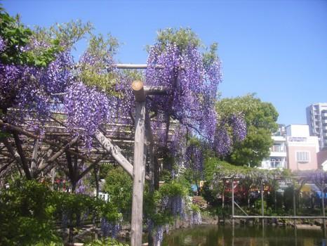 2011年4月末亀戸藤2