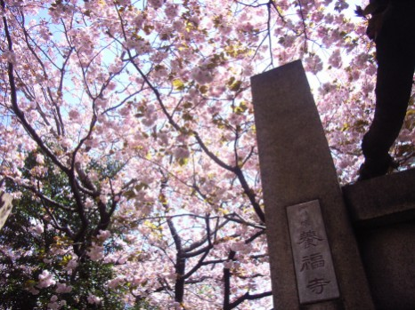201004養福寺の八重桜 (1)