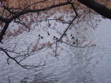 散り桜2010