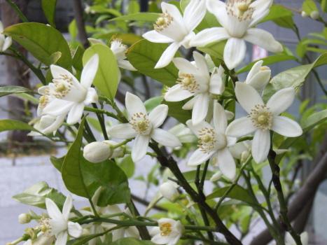 香り花リレーは、番外みかんの花がそれをつなぐ!/旧4/21・庚寅