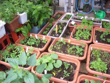 200906菜園