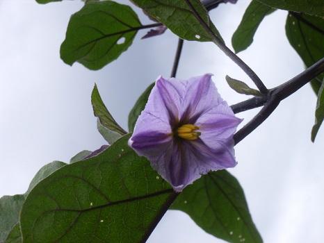 野菜の苗は、ひそかに花を咲かせていました/旧5/23・壬戌