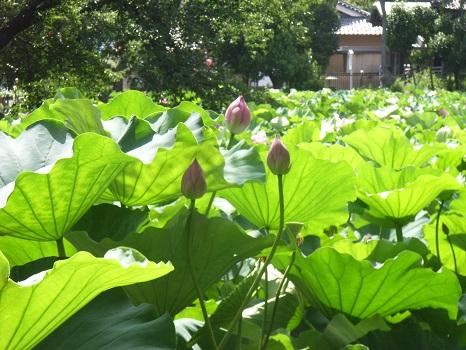 七十二候は「蓮始開」。もちろん不忍の池の蓮も咲きそうです/6/17・乙酉