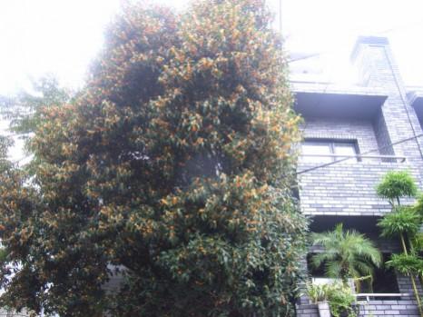 金木犀の巨木