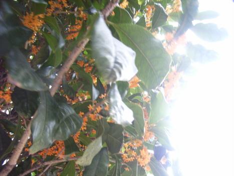 金木犀がもう香っております。今年は秋の来るのが早かったから?/旧暦9/7・甲辰