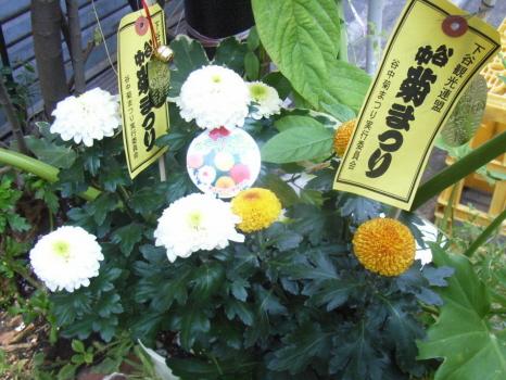 東京もやっと菊の季節。まずは、谷中の菊まつりスタート!/10/12=旧9/19・丙辰
