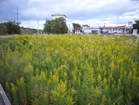 いつのまにか背高泡立ち草が、各所に侵入しておりました。/10/24=旧 閏9/1・戊辰