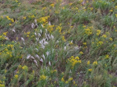 背高泡立ち草と芒