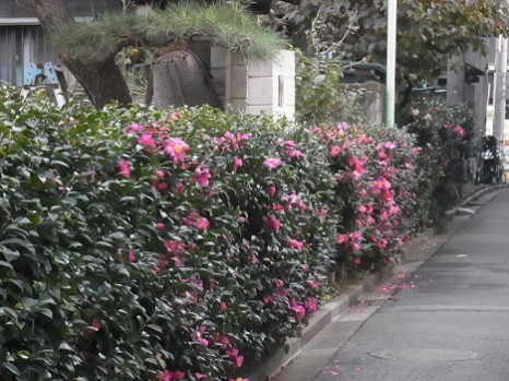 山茶花の垣根