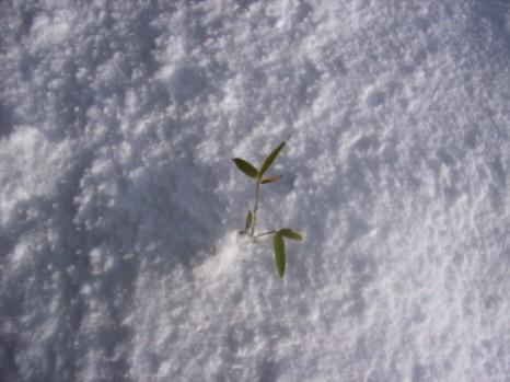 雪から葉っぱ