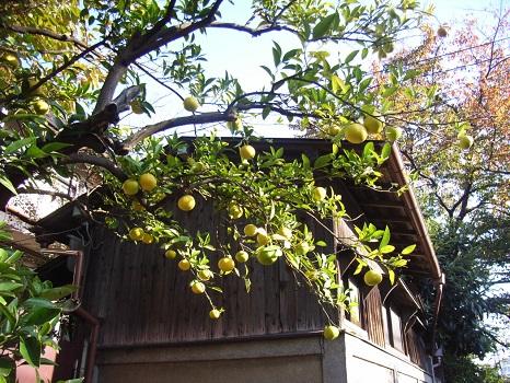 七十二候は、「橘始黄」。これは、どんぴしゃで、我がご近所では続々と柑橘類が色づいてます/12/5=旧10/14・庚戌