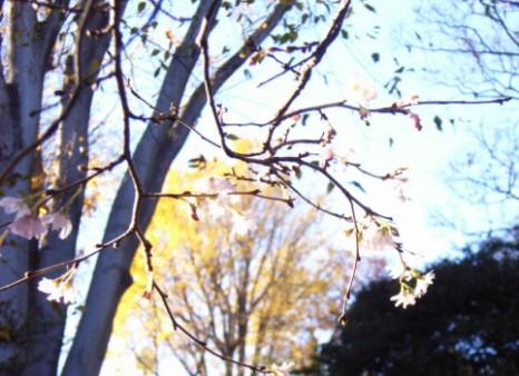 公孫樹と冬桜