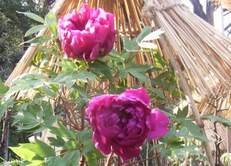 寒牡丹 紫
