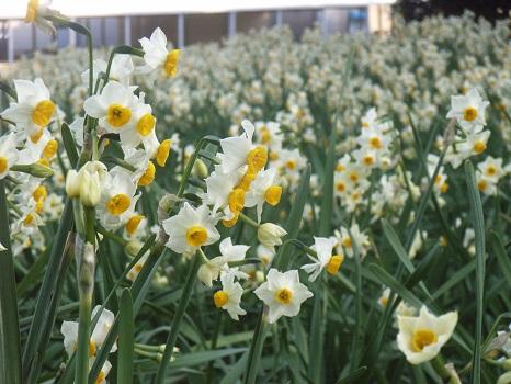 そろそろ水仙が見ごろ。群生する花を楽しむ「花見」は、ここからスタート!梅⇒菜の花⇒寒椿⇒桜と続きます。/1/29=旧12/10・乙巳