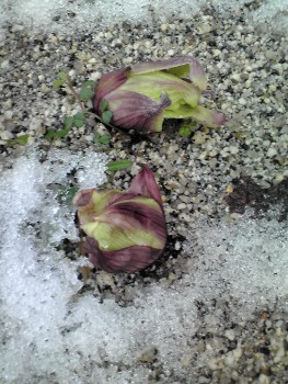 2015年の雪に蕗の薹