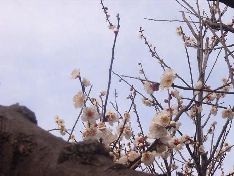 そろそろ、東京でも梅まつり。ぼんやりしてると、あっと言う間に花の見ごろだろうね。/2/7=旧12/19・甲寅