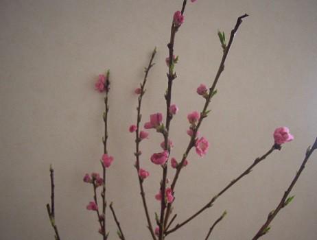 3月3日の桃
