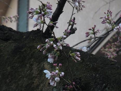 谷中 桜の枝