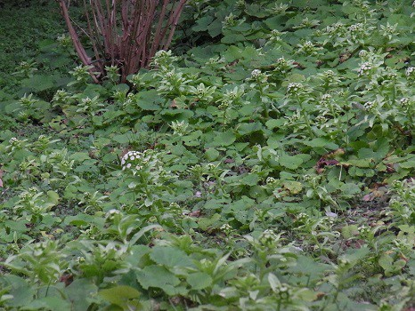 咲きすぎ蕗の薹