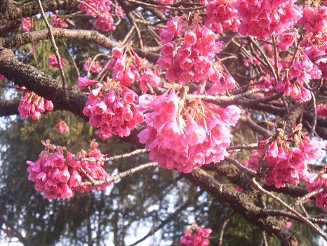「緋寒桜」は、ソメイヨシノの開花を告げて、「白木蓮」は、その盛りを教えてくれてるみたい。どちらも美しく満開ですよ/3/27=旧2/8・壬寅・上弦