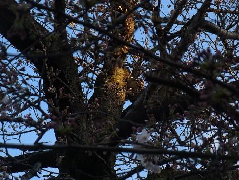 谷中 桜の木