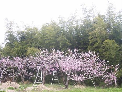 福島の桃の花
