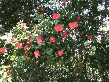 小石川植物園の藪椿
