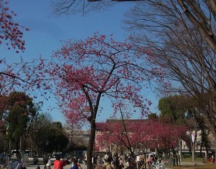 寒緋桜 上野