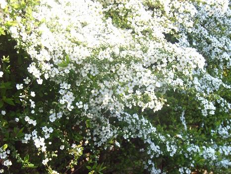 桜咲いて、ヒトと一緒にそれを見上げている花が…。ふふふっ、雪やなぎですが、こちらは満開/3/29=旧2/10・甲辰