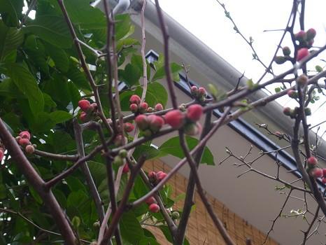 木瓜の花 寄り