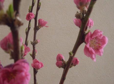 桃の花開く