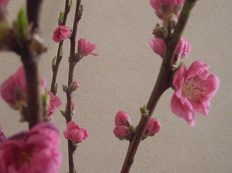 七十二候は、桃始笑(ももはじめてさく)。東京では全然咲きませんし、切り花桃だってないけどねぇ…。/3/12=旧1/22・丁亥