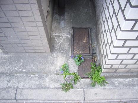 コンクリートのスミレ