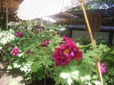 七十二候は「牡丹華」に入りました。となれば、やはり、上野東照宮の牡丹苑だな。/4/30=旧3/12・丙子