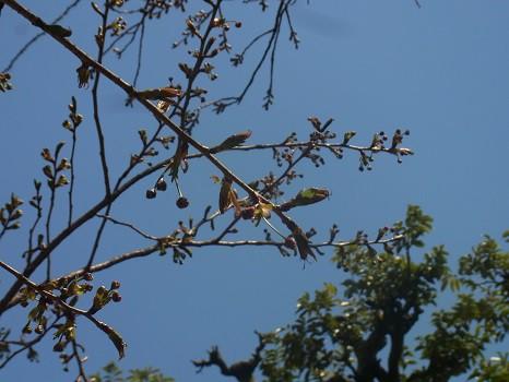 養福寺の八重桜