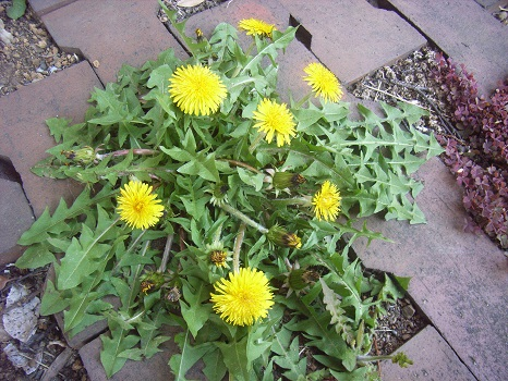 春の黄色系を担当するのは、文句なしにこの花。タンポポは、どんな都会でも増殖できちゃうのがすごいね/4/14=旧2/26・庚申