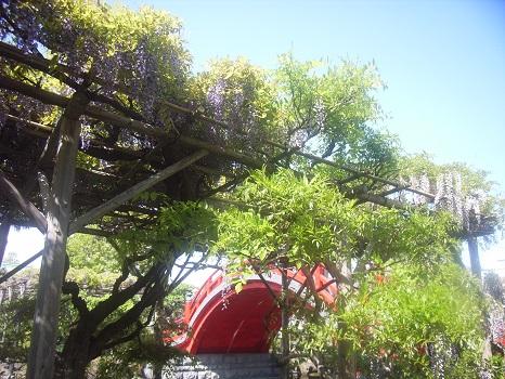 夏の花のはずですが、こちらも立夏を待たずに見ごろ、亀戸天神の藤。そして食べごろ「下がり藤」印の卵焼き/5/1=旧3/13・丁丑