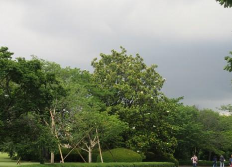 タイサンボク遠景