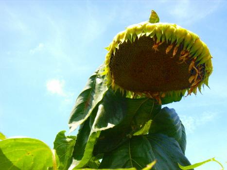 七十二候は「天地始粛」。暦がそう言い始めれば、夏休みもあとわずか。そして、秋祭りシーズンだし、早っ!/8/28=旧7/15・丙子