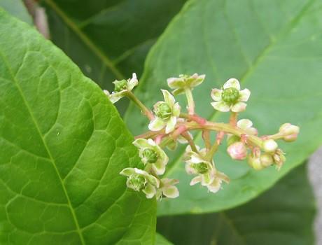 ようしゅやまごぼうの花