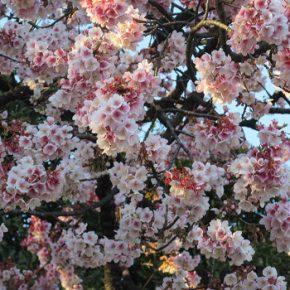 梅花見で出くわした、寒桜の饗宴!ということで、プレ桜観察も同時スタート。変に忙しき春('◇')ゞ/2/21=旧1/25・己卯