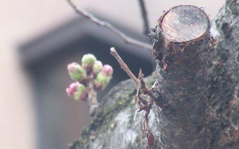 春彼岸帰省中ですが、東京の私の桜標本木(←勝手にここと決めてる)の様子をここに。/3/18=旧2/21・甲辰