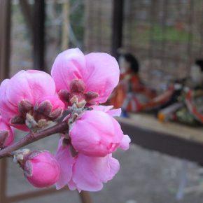 今日は、桃の節句 お雛祭りっ!今年は、リアル桃咲くなかに飾られたお雛様を!/3/3=旧2/6・己丑