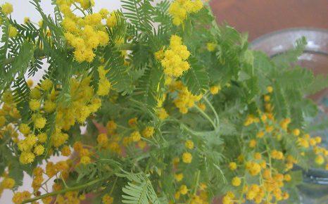 街に黄色い色が増えた気が...。花屋さんはミモザだらけ...あっ!今日はミモザの日?/3/8=旧2/11・甲午