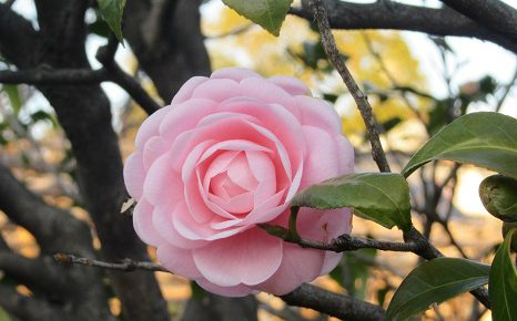 1945年東京大空襲の日は、1990年東京都平和の日。花咲き誇る今日はそんな日。/3/10=旧2/13・丙申