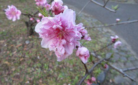 七十二候は「桃始笑(ももはじめてさく)」に。桃の花ったら、ホントに笑ってるみたいに咲くんだよねぇ。/3/12=旧2/15・戊戌
